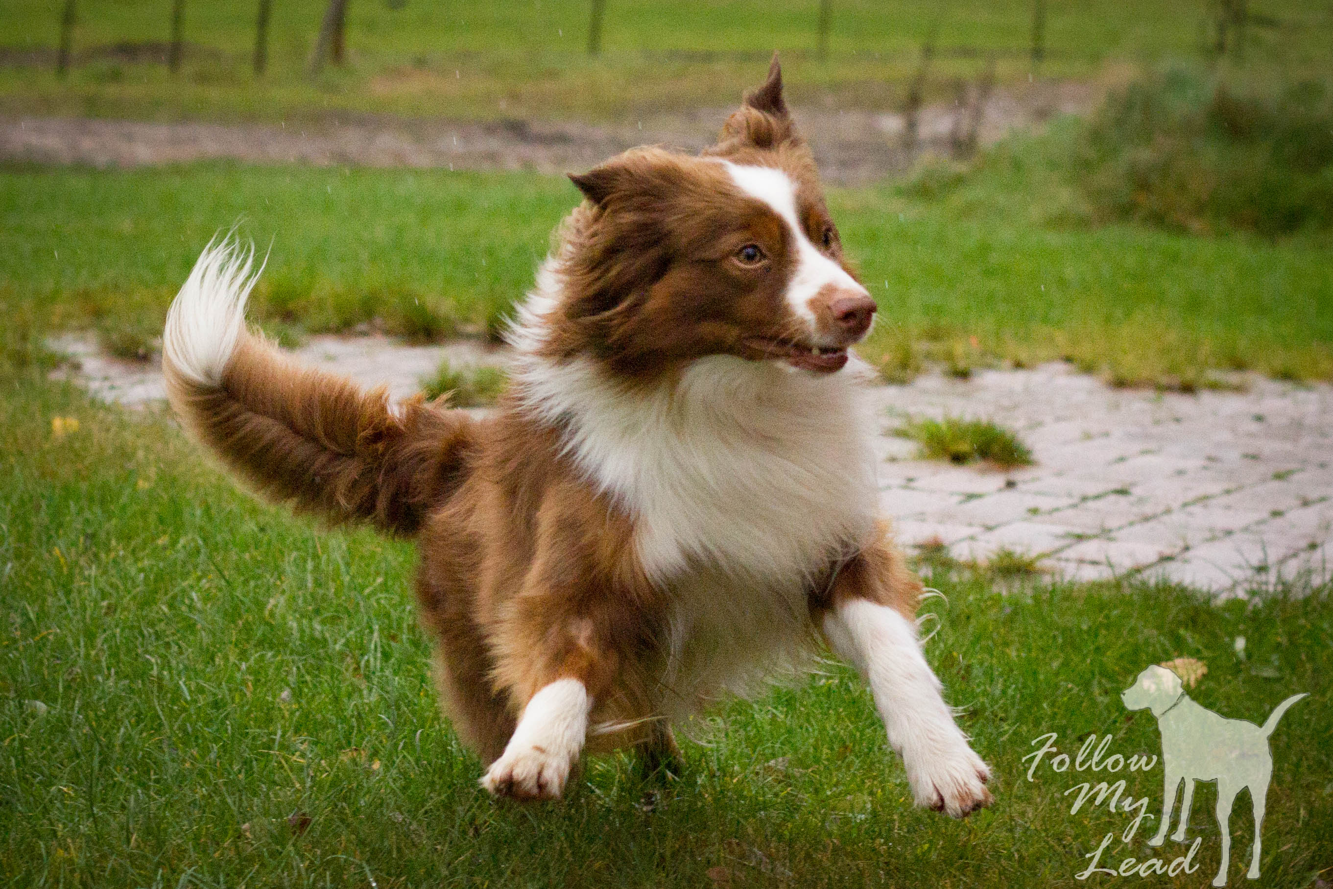 action shot of Miniature American Shepherd dog
