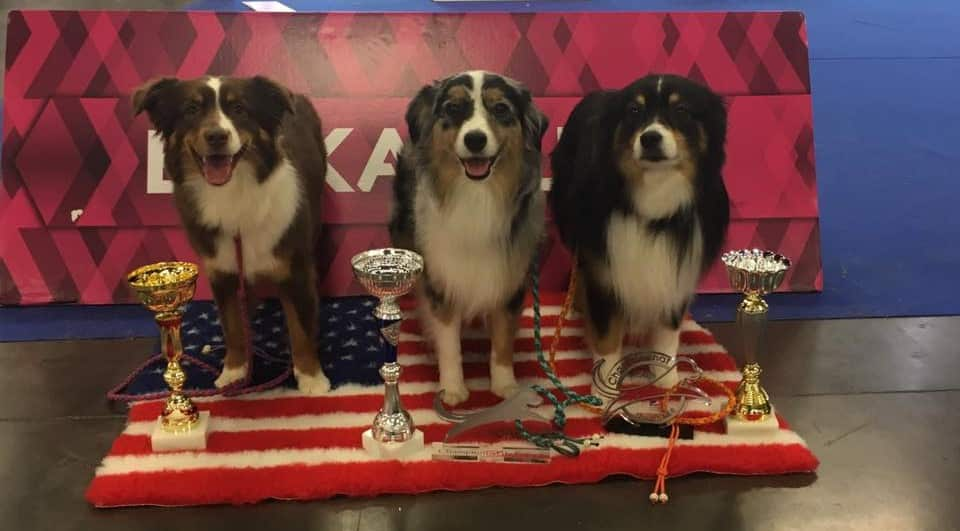 Three prize winning Miniature American Shepherd dogs