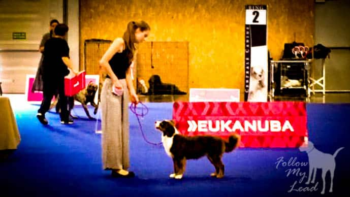 Miniature American Shepherd Breeder in show ring