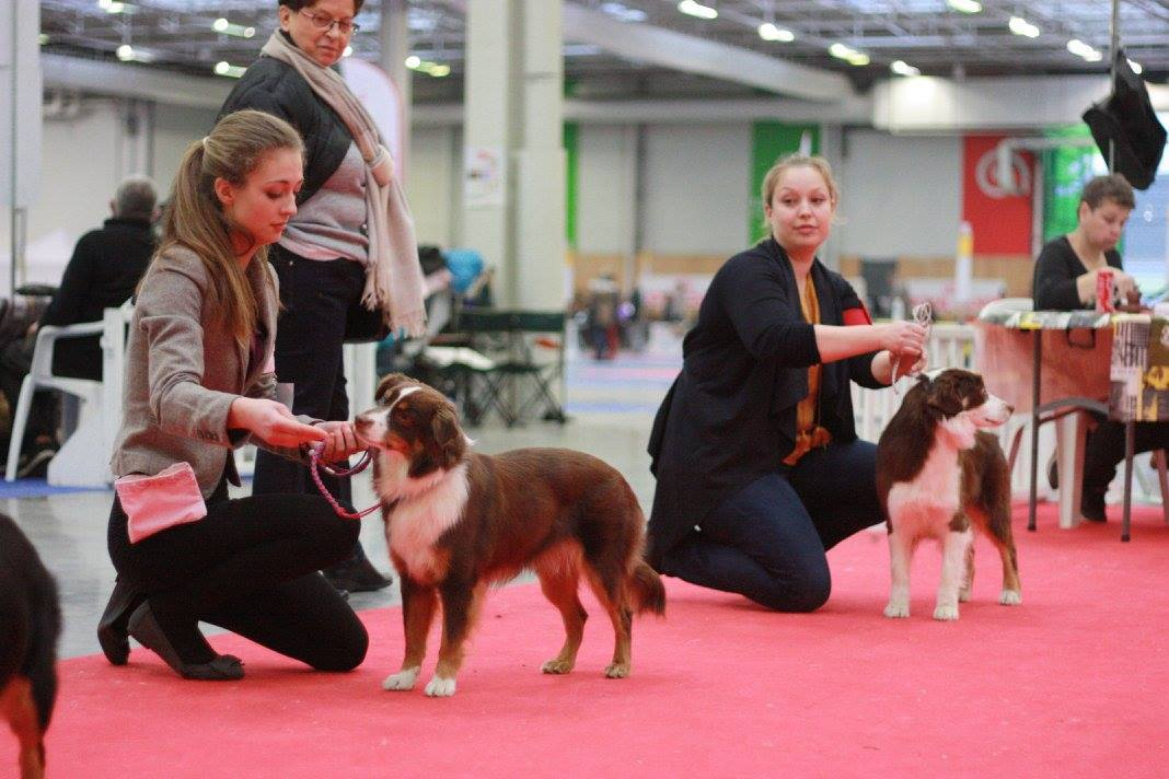 Infernia Miniature American Shepherd Breeder UK in the show ring