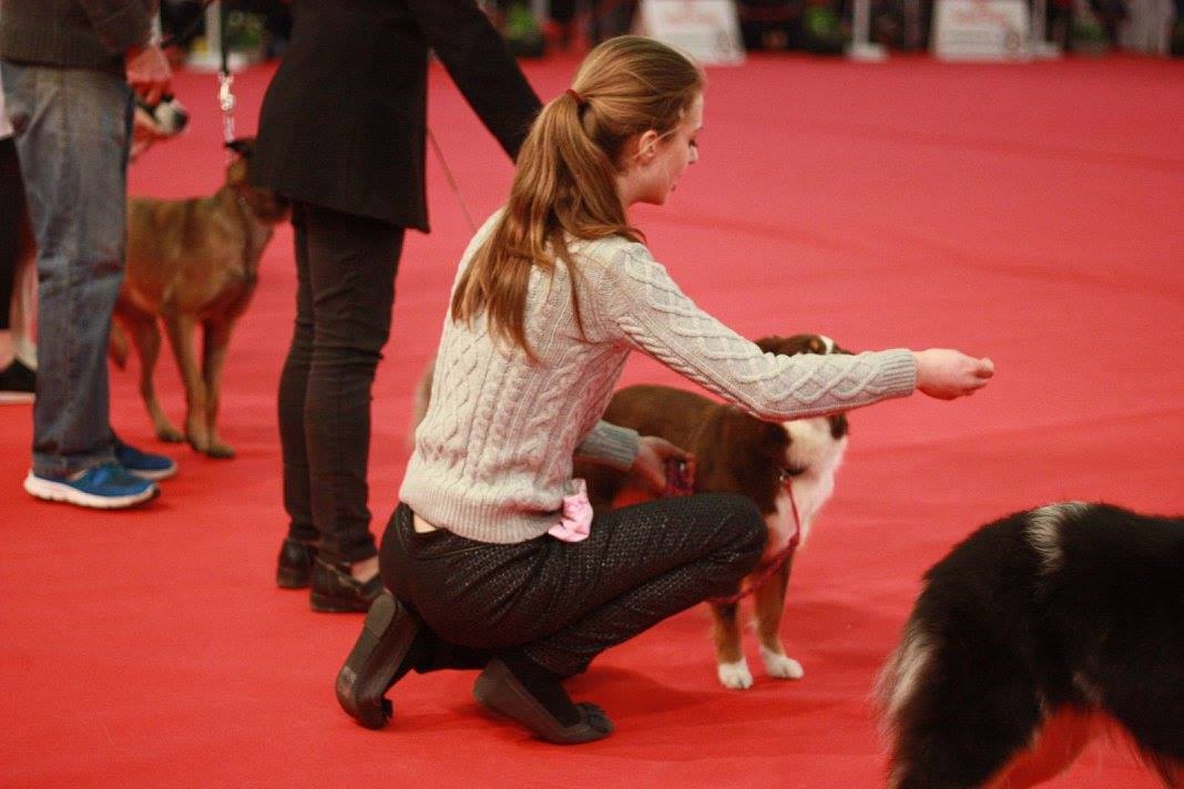 Infernia Miniature American Shepherd Breeder UK in a dog show
